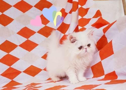 Gatos Persa Ig Criaderoriana