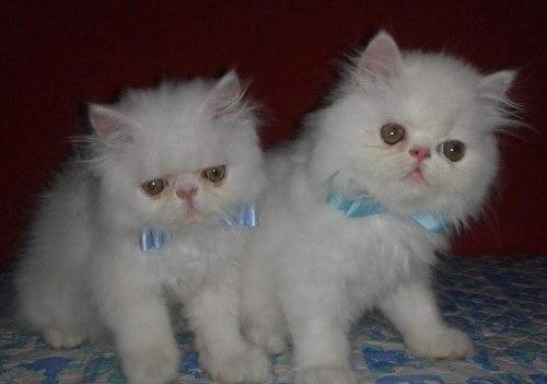 Vendo Hermosos Gatos Machos Persa