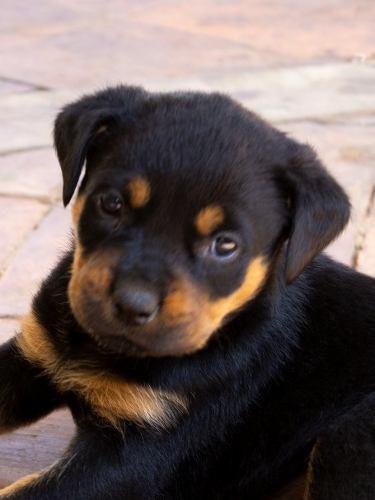 Cachorros Rottweiler Padres Con Pedigree Ubicado En Cabudare