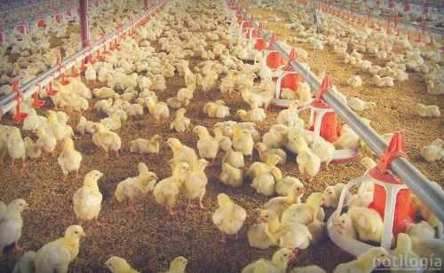 Alimento De Engorde Para Pollos
