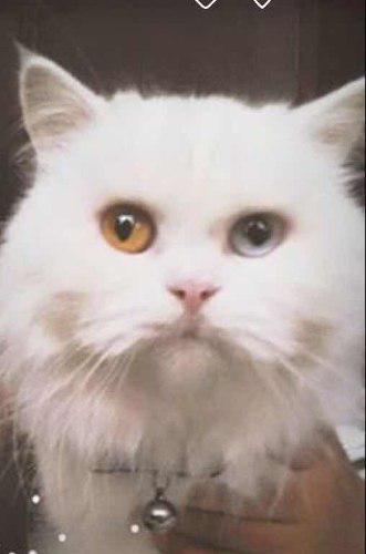 Gata Persa Blanca Con Ojos Bicolor