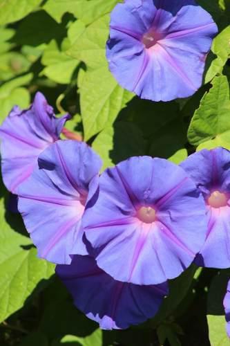 Semillas De Morning Glory Flores Color Morado.