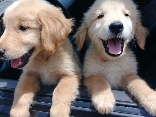 Cachorro Golden Retriever (ultimo Disponible)
