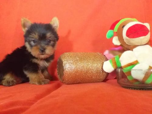 Yorkshire Terrier Hembra Y Machos Con Pedigree Y Microchip