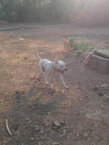 Dogo Argentino Para La Monta