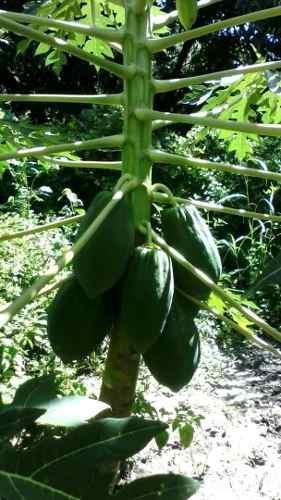 10 Matas De Lechosa Papaya