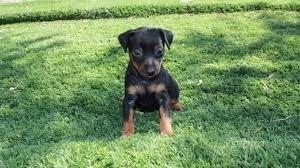 Cachorros Pincher Miniatura No Oferte!!!!!