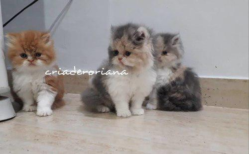 Gatos Hembra Persa