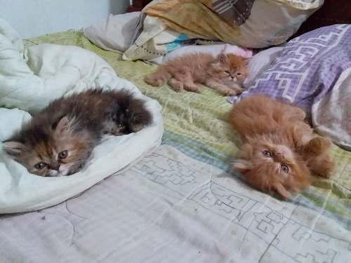 Gatos Persa (se Hace Envío Nacional)