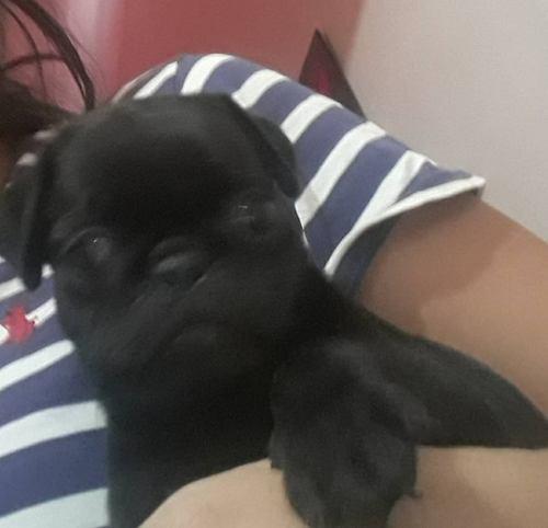 Cachorro Pug Carlinos Macho Negro Vacunados