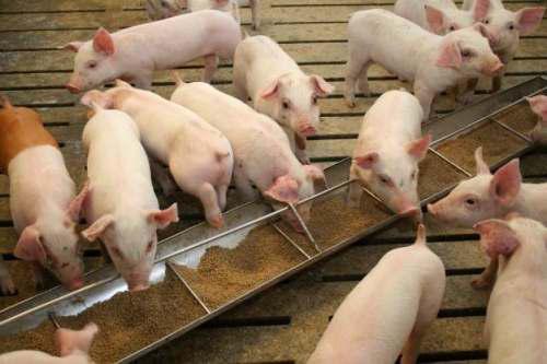 Alimento Para Cerdos Cochinos Cerdo Engorde Harina De Maiz