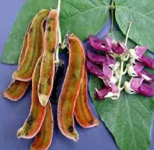 Semillas De Mucuna Negras 500grs (5 Vrds)