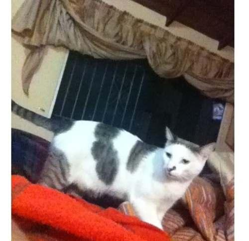 Regalo Gato Siames/ragdoll
