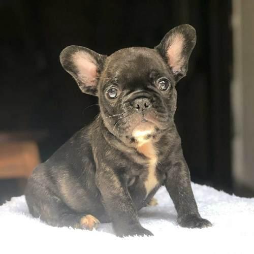 Cachorros Bulldog Frances Machos Y Hembras