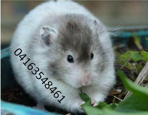 Hamster Bebes, Ideal Mascota Para Los Niños