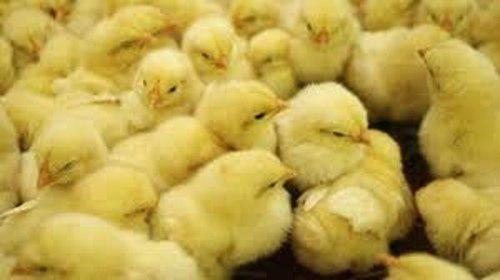 Pollos Bebes Para Engorde + Alimento + Vitaminas