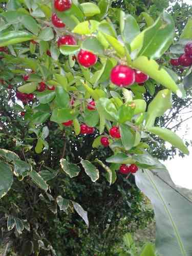 Plantines De Cereza Criolla