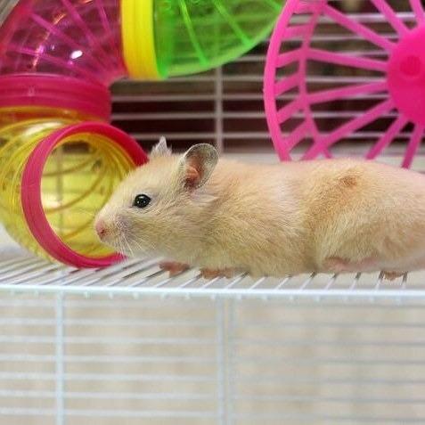 Hamster Mascotas Manual