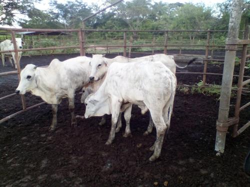 Mautes Braman De Primera En Venta Especiales Para Carne