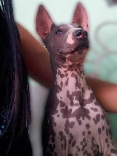 Cachorro Xoloitzcuintle